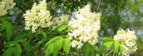 elderflower-tea