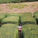 天目青頂の効能や産地、歴史まとめ【中国緑茶】