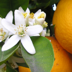 【ハーブティー】オレンジブロッサムティーの効能や飲み方まとめ