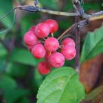 サルトリイバラ茶の効能や淹れ方まとめ【健康茶】