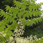 タラの葉の効能や飲み方まとめ【健康茶】