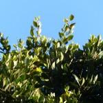 月桂樹茶(ローリエ茶)の効能や飲み方まとめ