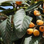 びわの葉茶の効能や作り方【健康茶】