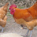 白鶏冠の効能や飲み方、特徴まとめ【中国茶】