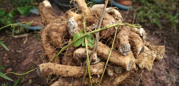 wild-yam-root