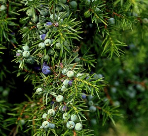 juniper-berry