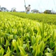 日本三大銘茶