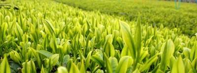 日本三大銘茶(静岡茶、宇治茶、狭山茶)の特徴を徹底解説【口コミ付き】