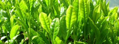 緑茶(日本茶)の花は何色?