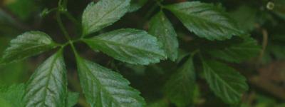 アマチャヅル茶の効能/作り方まとめ【健康茶】